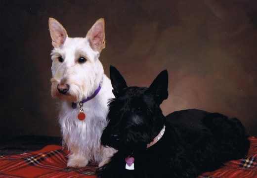 Photos du Scottish Terrier