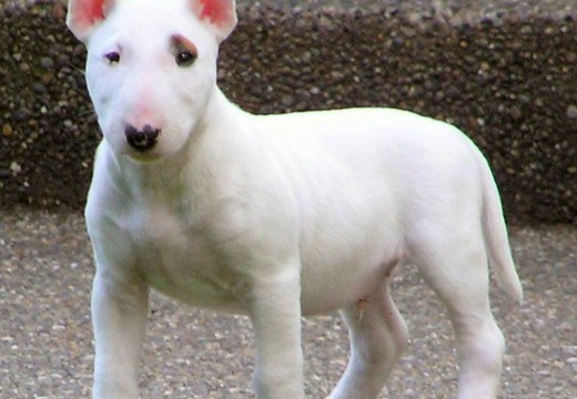 Photos du Bull–terrier