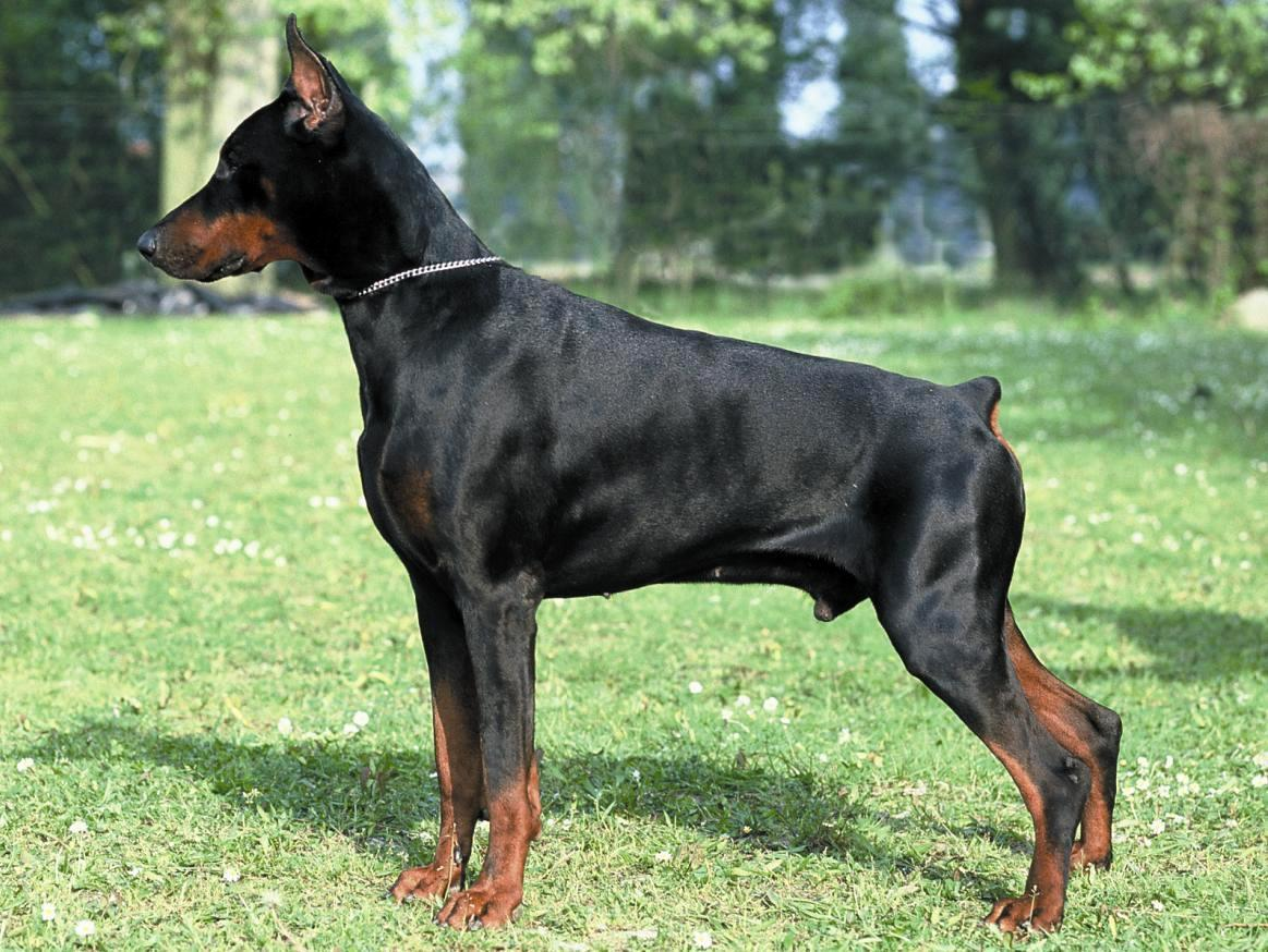 photos-dobermann