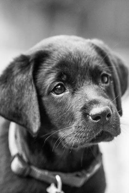 bébé labrador noir