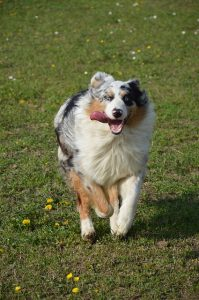 top-chiens-preferes-francais-6