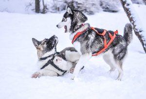 chiens-de-traineaux-1