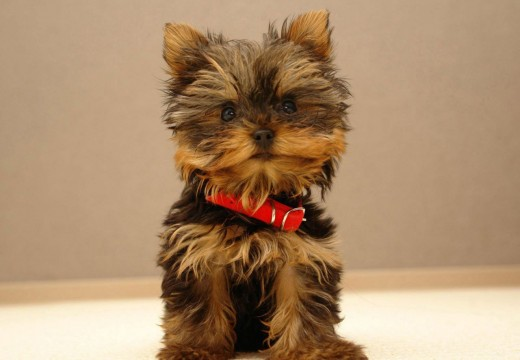 Photos du Yorkshire Terrier
