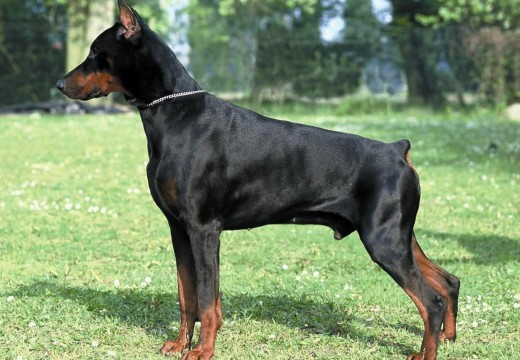 Photos de Dobermann