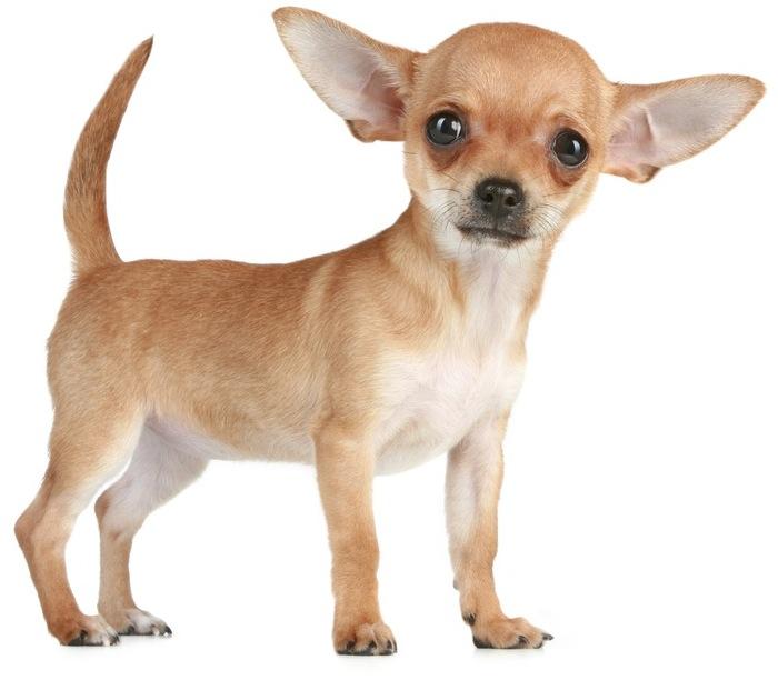 Chihuahua chien