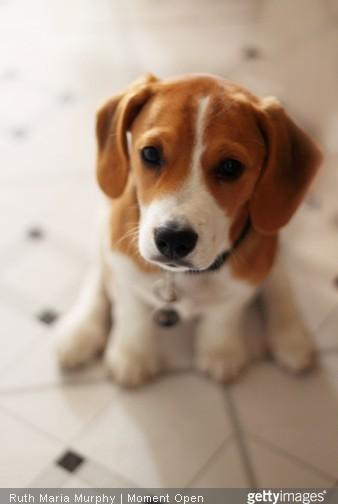 bébé beagle