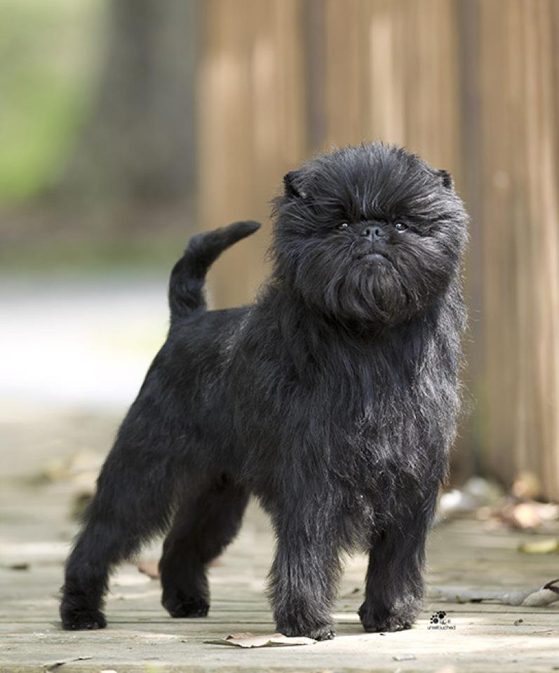 chien-affenpinscher
