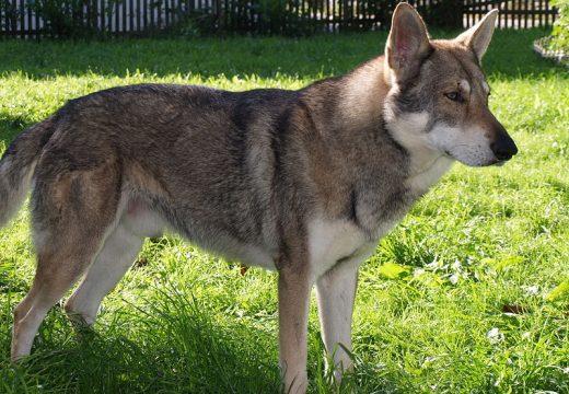 Le chien-loup de Saarloos